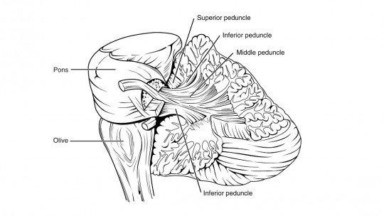 Pedúnculos cerebrais: funções, estrutura e anatomia 1