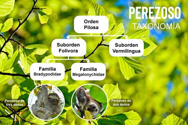 Preguiçoso: características, evolução, habitat, reprodução 2