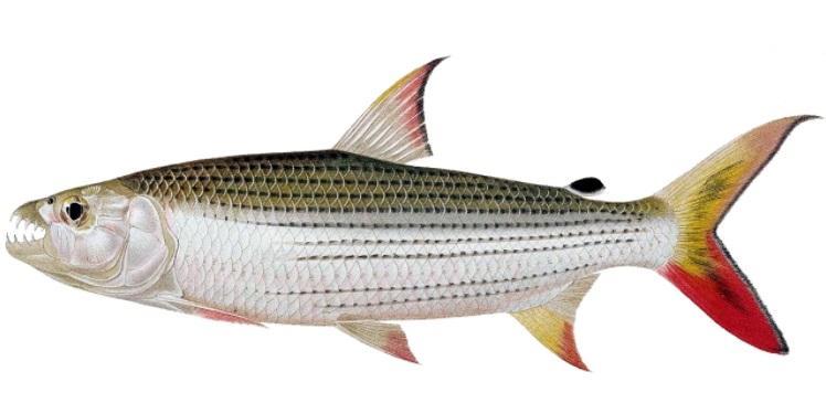 Peixe Tigre: Características, Dieta, Morfologia 1