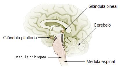 Glândula pineal: funções, anatomia, doenças 2