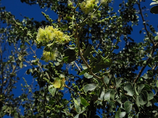 Pithecellobium dulce: características, habitat, propriedades 1