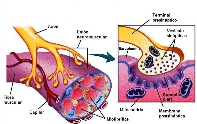 Junção neuromuscular: partes, funções e patologias 1