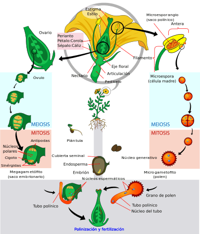 Angiospermas: características, classificação, ciclo de vida 2