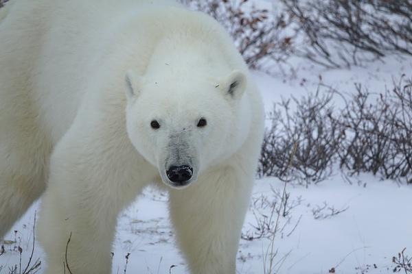 Gelo perpétuo: características, clima, flora, fauna 3