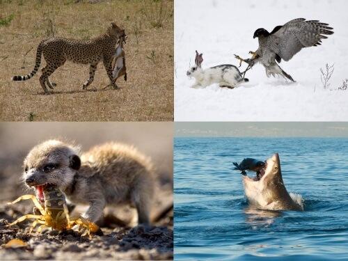 O que é predação? Características principais 1