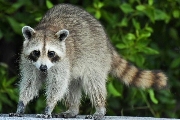 Guaxinim: características, habitat, alimentação, reprodução 1
