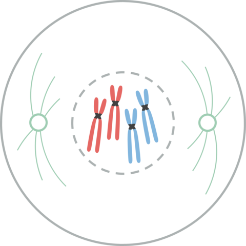 Divisão celular: tipos, processos e importância 3