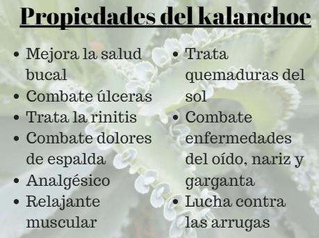 15 benefícios surpreendentes do Kalanchoe para a saúde 2