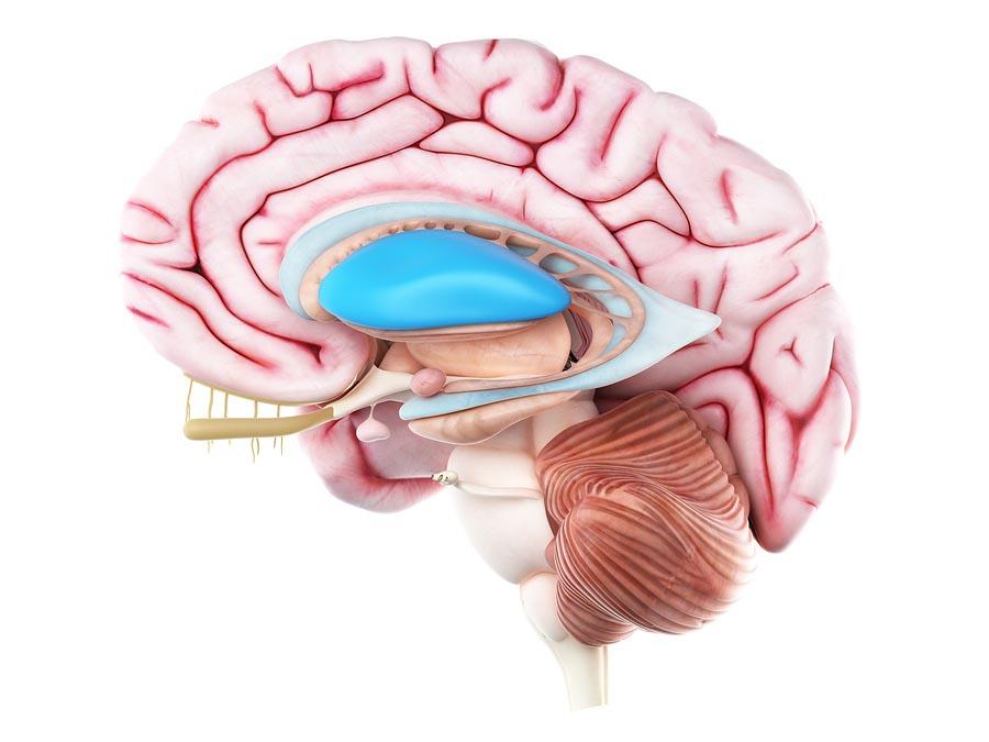 Núcleo lenticular: função, anatomia, características 3