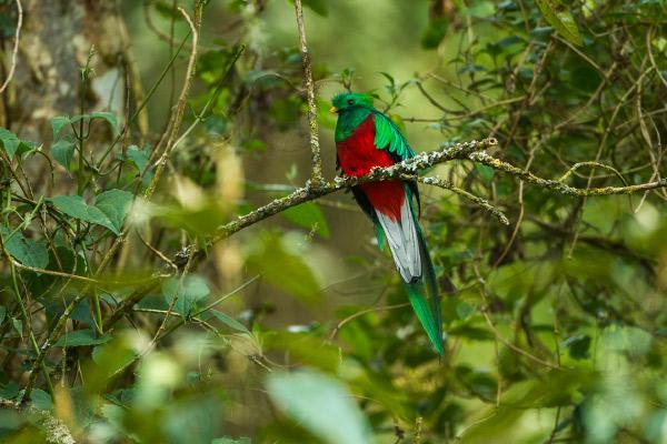 Quetzal: características, habitat, reprodução, comida 1