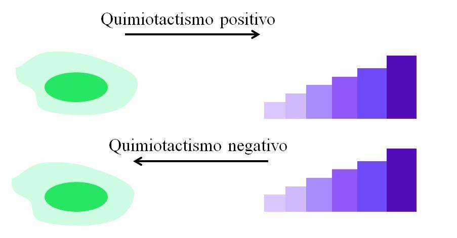 Quimiotatismo: o que é, exemplos 1