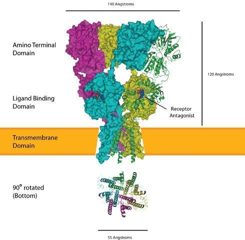 Glutamato (neurotransmissor): síntese, ação, funções 3