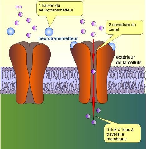 Glutamato (neurotransmissor): síntese, ação, funções 4