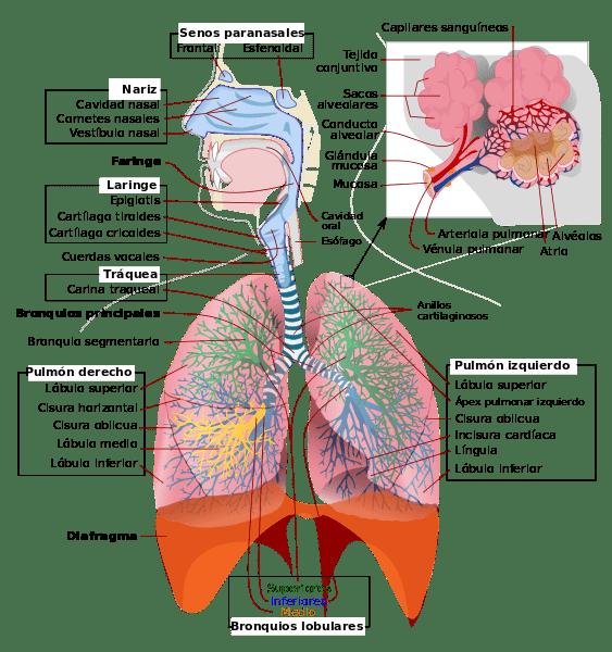 Respiração pulmonar: características, processo, fases 1