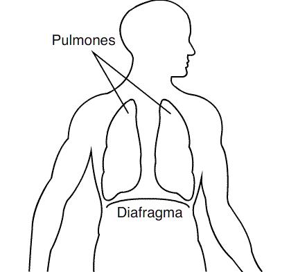 Respiração pulmonar: características, processo, fases 2