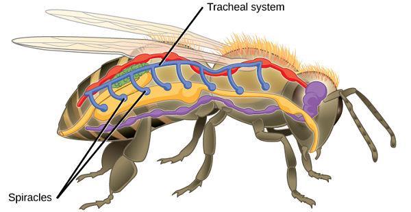 Respiração traqueal: características e exemplos de animais 1