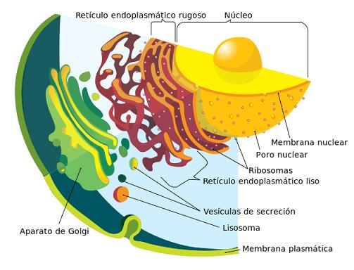 Tipos de células: Procariontes e eucariotos (com imagens) 9