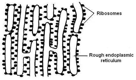 Retículo endoplasmático rugoso: estrutura e funções 3