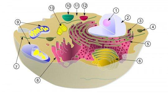 Retículo endoplasmático liso: definição, características e funções 1