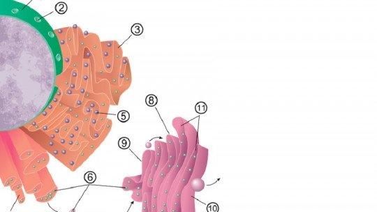 Retículo endoplasmático áspero: definição, características e funções 1