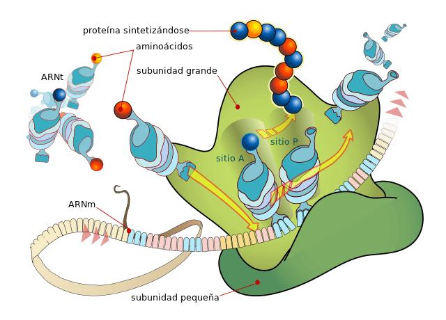 Retículo endoplasmático rugoso: estrutura e funções 4