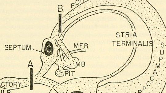 Rinocefalia: o que é, partes e suas funções no cérebro 1