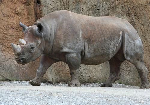 71 animais extintos em todo o mundo (e causas) 4
