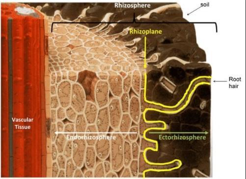 Rizosfera: Características, Microbiologia e Importância 1
