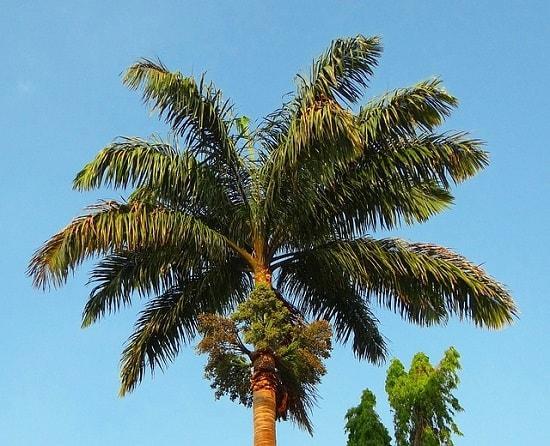 Palma real: características, habitat, usos, cuidados 2