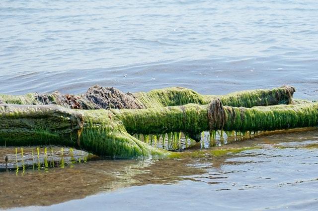 Algas verdes: características, habitat, tipos e propriedades 10