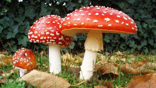 Cogumelos alucinógenos: estes são os efeitos em nossa mente 1