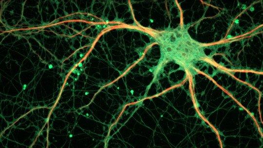 Sinaptogénesis: ¿cómo se crean conexiones entre neuronas? 1