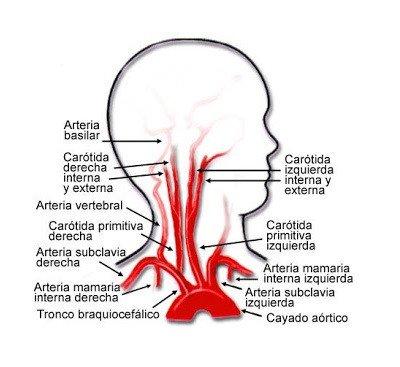 Irrigação do sangue no cérebro: anatomia, fases e caminho 2