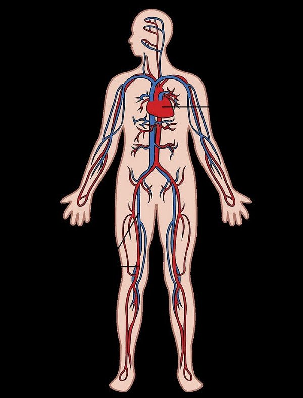 Os 12 sistemas do corpo humano (e como eles funcionam) 3