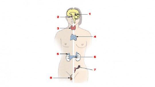 Sistema endócrino: anatomia, partes e funções 1