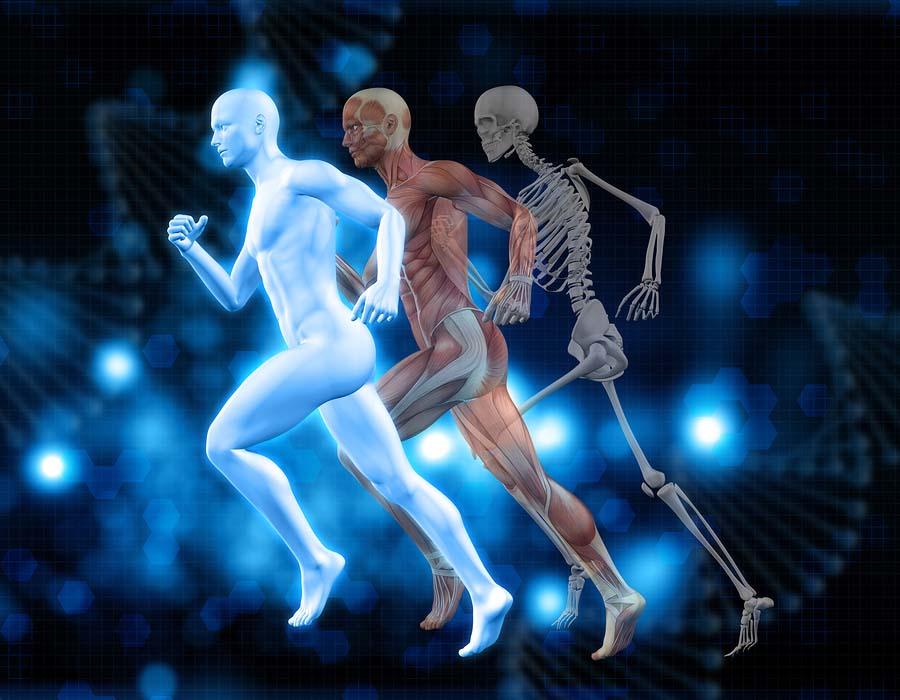 Sistema osteoartroso muscular (SOAM): divisão e funções 3
