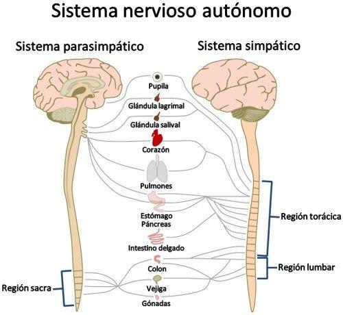 Sistema nervoso simpático: estrutura, funções 2