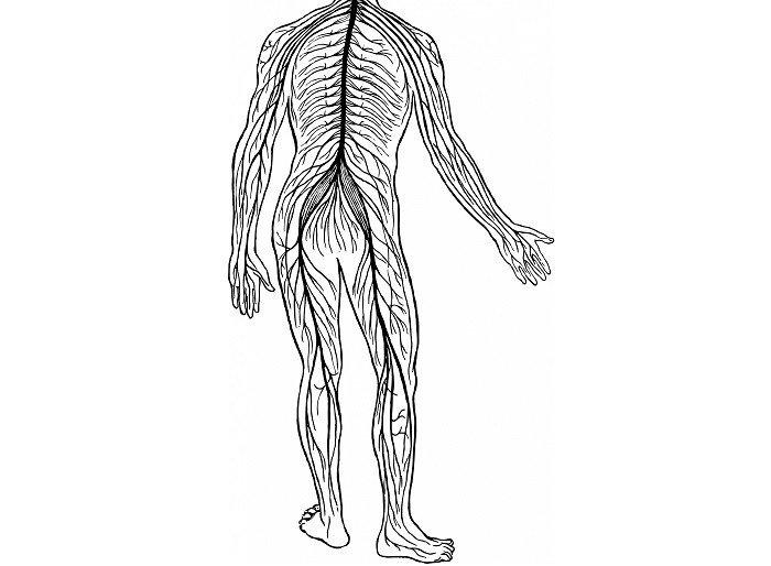 Os 12 sistemas do corpo humano (e como eles funcionam) 2