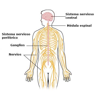 Neurônios motores: características, tipos e funções 3