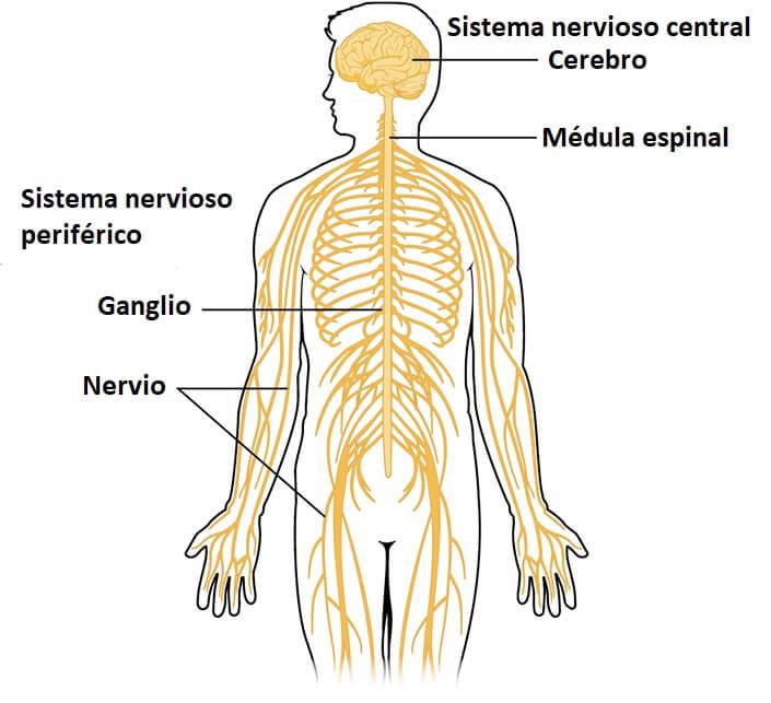 Sistema nervoso periférico: partes e funções 1