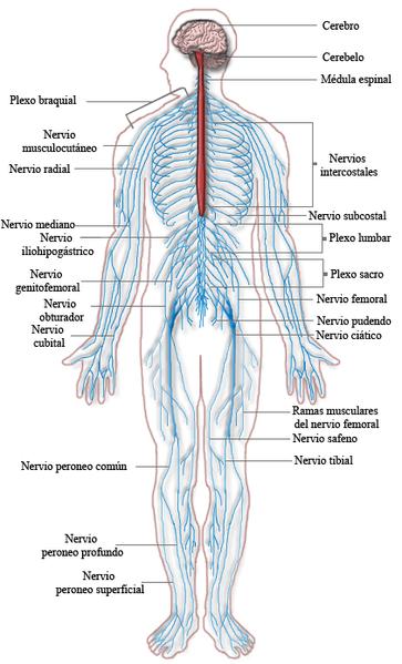 Sistema nervoso periférico: partes e funções 3