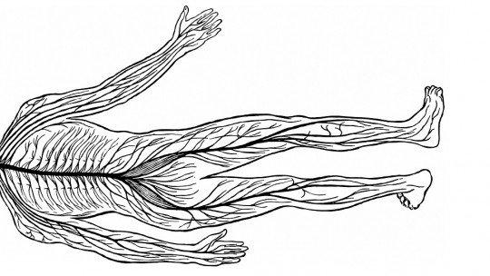 Sistema nervoso periférico (autônomo e somático): partes e funções 1