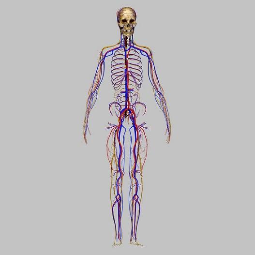 Sistema nervoso periférico: partes e funções 4