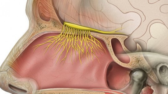 Sistema olfativo: recepção, transdução e vias cerebrais 1