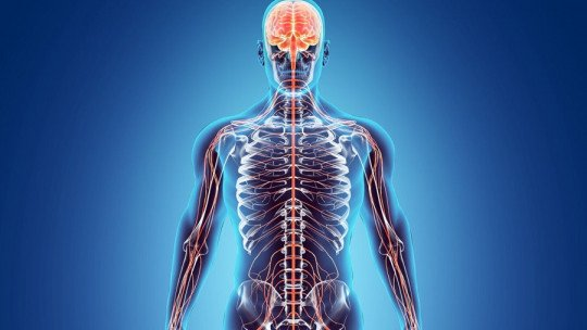 Sistemas efetores: o que são, tipos e funcionamento no corpo humano 1