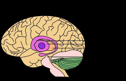 Tálamo: núcleos e funções 9