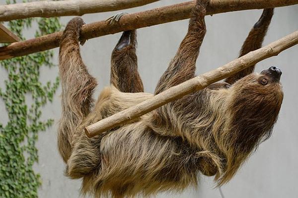 Preguiçoso: características, evolução, habitat, reprodução 1