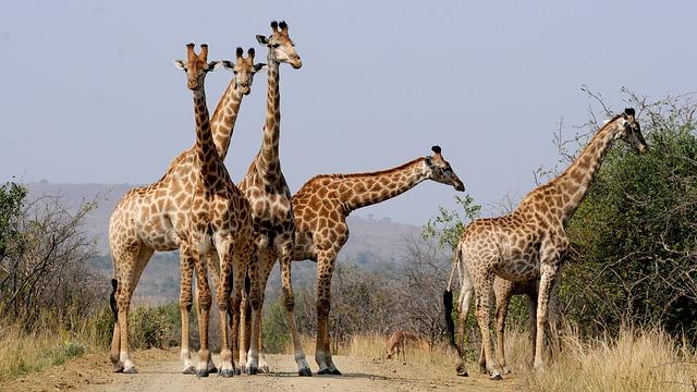 Girafa: características, habitat, reprodução, alimentação 5