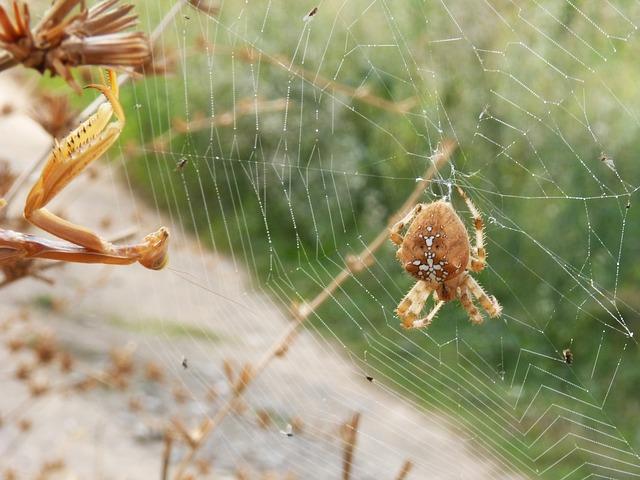 Aranha de jardim: características, habitat, reprodução 3