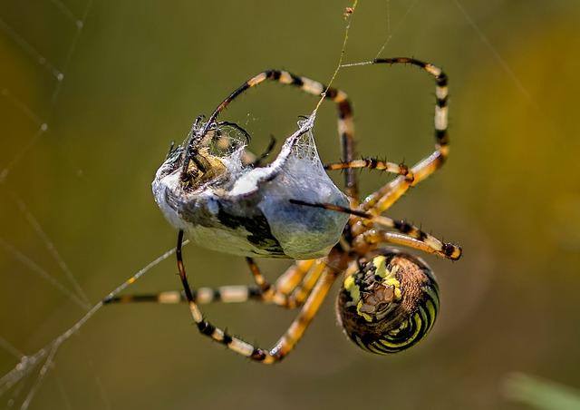 Aranha de jardim: características, habitat, reprodução 6